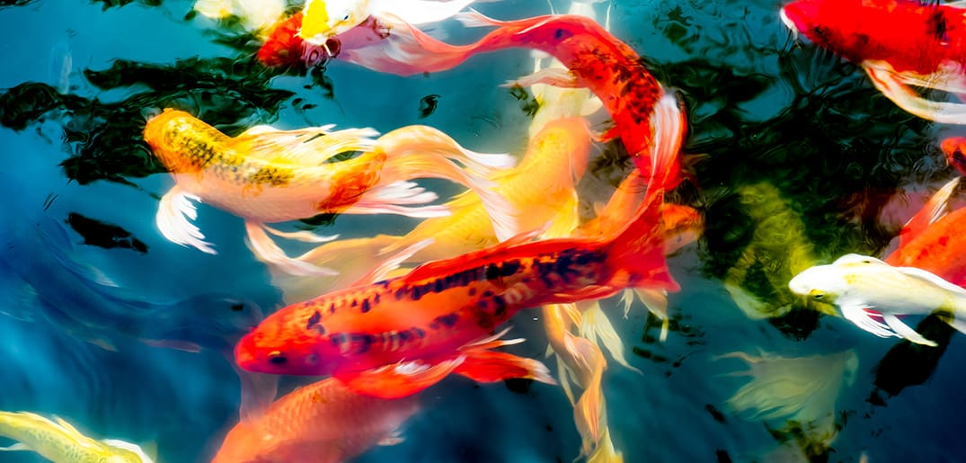 Top-Reasons-Why-Some-Koi-Breeds-Are-So-Expensive