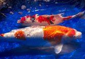 koi fishes sleep