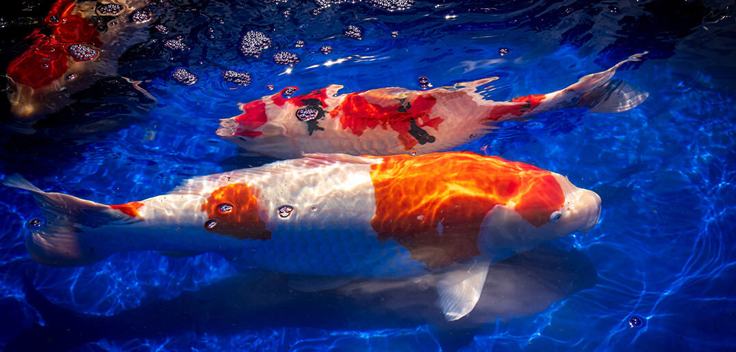 Understanding how koi fishes sleep everything koi for Koi pond how to