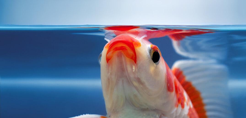 new koi fishes