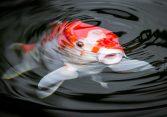 How Big Can Koi Fish Get?
