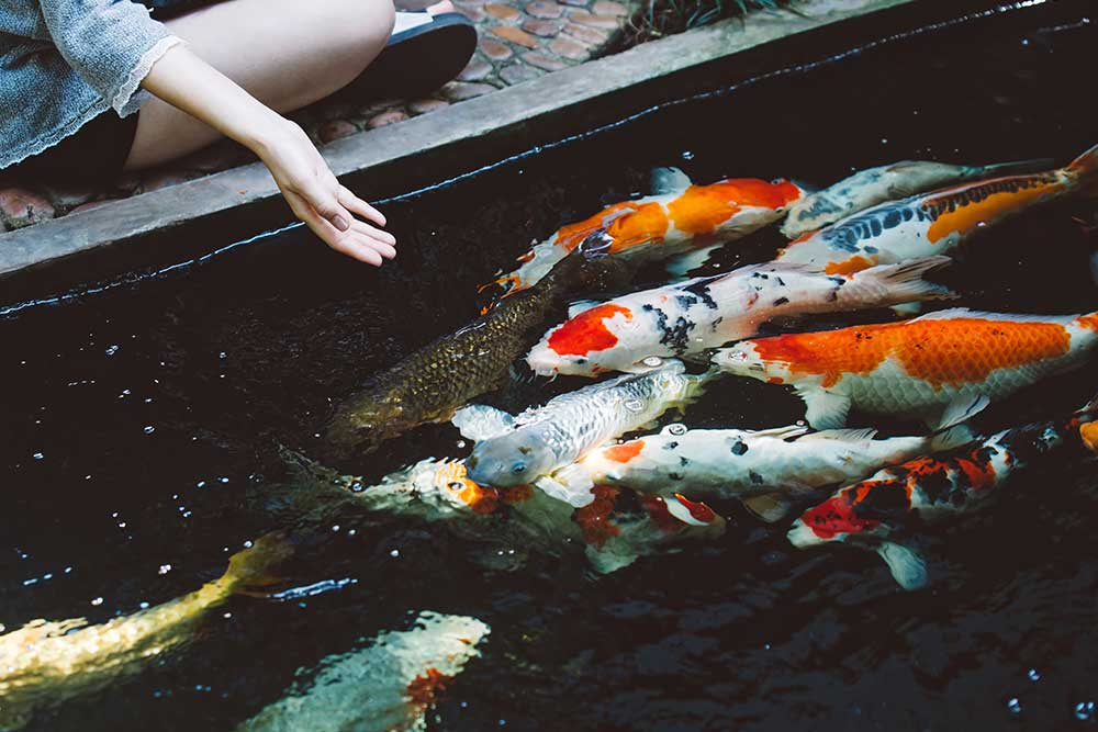 How Long Can Koi Go Without Food?