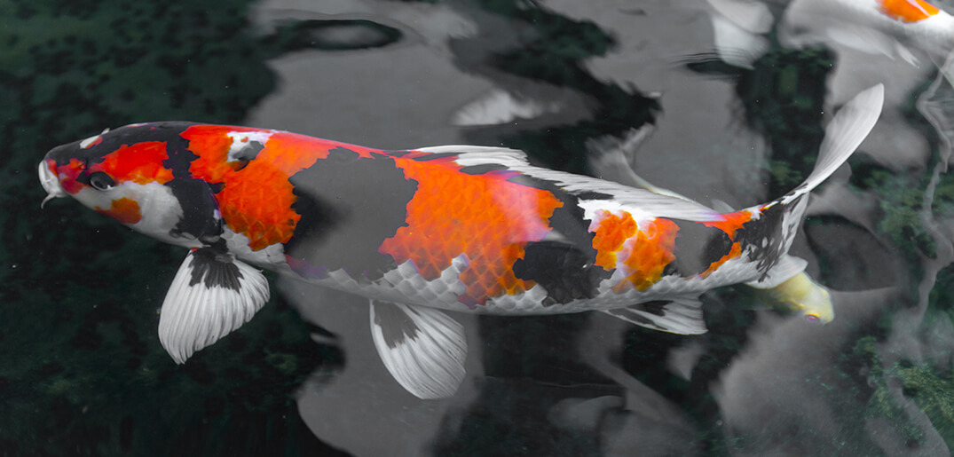 How To Identify The Gender Of Koi Fish Everything Koi