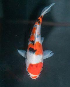 """9"""" Japanese Imported Sanke Live Koi Fish - SH20"""