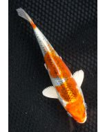 """7"""" Japanese Imported Kujaku Live Koi Fish - S009"""