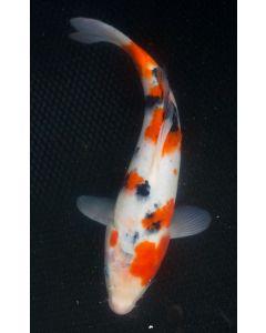 "12"" Japanese Imported Sanke Live Koi Fish - S001"