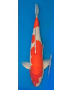 "26"" Japanese Imported Kohaku Live Koi Fish - T01"