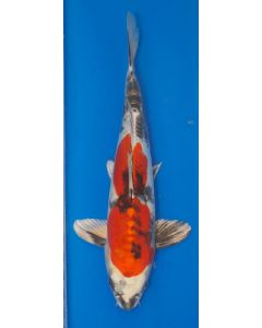 "16"" Japanese Imported Doitsu Kin Showa Live Koi Fish- H003"