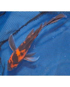 "7"" Japanese Imported Butterfly Hi Utsuri Live Koi Fish- Y02"