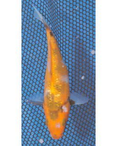 "5"" Japanese Imported Gin Rin Showa Live Koi Fish - MT03"