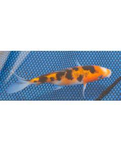 "5"" Japanese Imported Sanke Live Koi Fish- MT06"