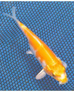 """5"""" Japanese Imported Hariwake Live Koi Fish- MT11"""