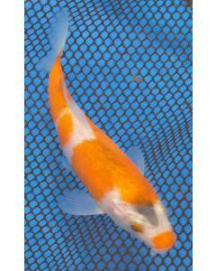 "5"" Japanese Imported Kohaku Live Koi Fish- MT14"