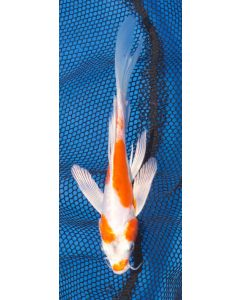 """7"""" Japanese Imported Butterfly Kikusui Live Koi Fish-Y08"""