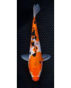"9"" Japanese Imported Sanke Live Koi Fish - S015"