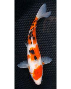 "9"" Japanese Imported Sanke Live Koi Fish - S017"