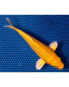 """5"""" Japanese Imported Orengi Ogon Live Koi Fish"""