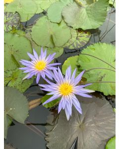 Grower's Choice - Tropical Water Lily