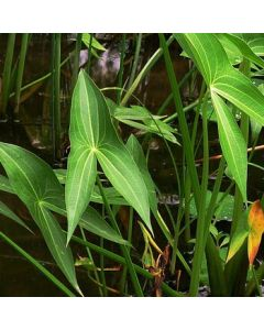 Arrowhead Pond Plant - Sagittaria Latifolia