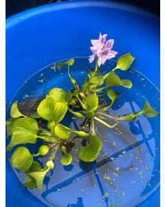 Water Hyacinth, Bundle of 3