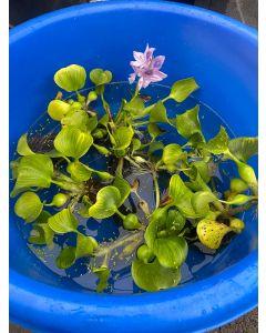 Water Hyacinth, Bundle of 6