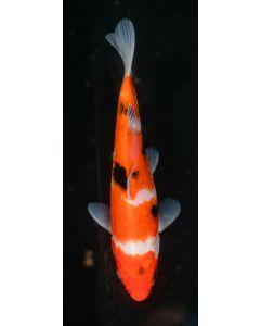 """8"""" Japanese Imported Sanke Live Koi Fish - SH34"""