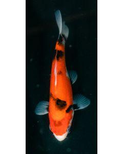"""7"""" Japanese Imported Sanke Live Koi Fish - SH36"""
