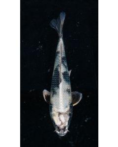 "10"" Japanese Imported Kin Shiro Live Koi Fish - IK16"