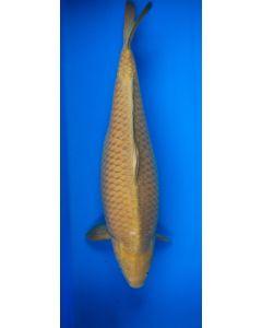 "27"" Japanese Imported Chagoi Live Koi Fish"