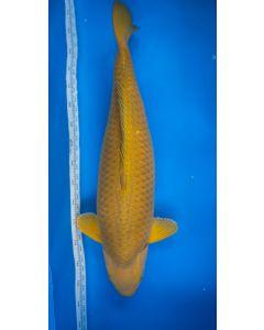 "27"" Japanese Imported Chagoi Live Koi Fish - M05"