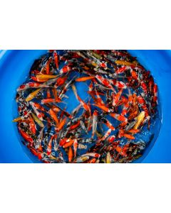 "Lot of 6, 5-6"" Japanese Imported Live Koi Fish"