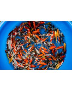 "Lot of 15, 4-5"" Japanese Imported Live Koi Fish"