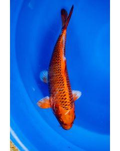 "14"" Japanese Imported Kin Matsuba Live Koi Fish - MS6"