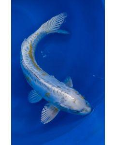 """16"""" Japanese Imported Doitsu Lemon Hariwake Live Koi Fish - MS12"""