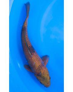 "14"" Japanese Imported Chocolate Chagoi Live Koi Fish - MS14"