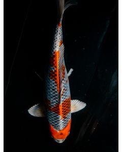 """20"""" Japanese Imported Kujaku Live Koi Fish - YA35"""