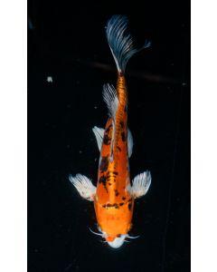 """15"""" Japanese Imported Beni Kikokuryu Live Koi Fish - YA47"""