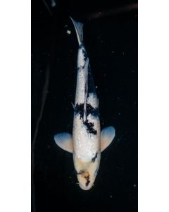"17"" Japanese Imported Ginrin Shiro Utsuri Live Koi Fish - YA49"