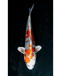 "12"" Japanese Imported Kujaku Live Koi Fish - W1"