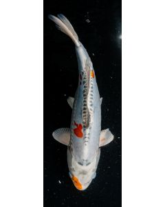 "17"" Japanese Imported Beni Kikokuryu Live Koi Fish - MS51"