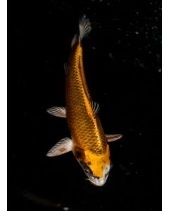 "9"" Japanese Imported Kirin Live Koi Fish - W5"