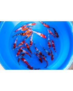 """Lot of 6, 6-8"""" Japanese Imported Live Koi Fish"""