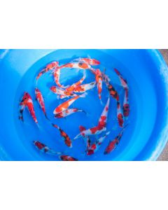 """Lot of 10, 5-8"""" Japanese Imported Live Koi Fish"""