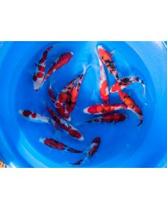 """Lot of 3, 8-10"""" Japanese Imported Live Koi Fish"""