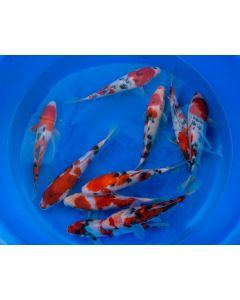 """Lot of 3, 10-12"""" Japanese Imported Live Koi Fish"""