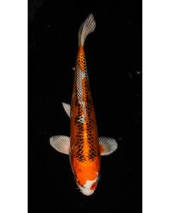 """9"""" Japanese Imported Kujaku Live Koi Fish - IK22"""