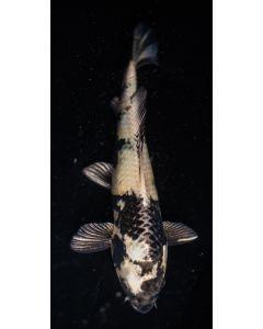"""15"""" Japanese Imported Kin Shiro Utsuri Live Koi Fish - YA62"""