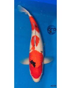 "20"" High Quality Imported Sanke Live Koi Fish - HQ12"