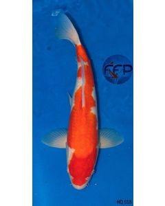 "18"" High Quality Imported Kohaku Live Koi Fish - HQ2"