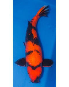 "24"" Japanese Imported Hi Utsuri Live Koi Fish - M04"